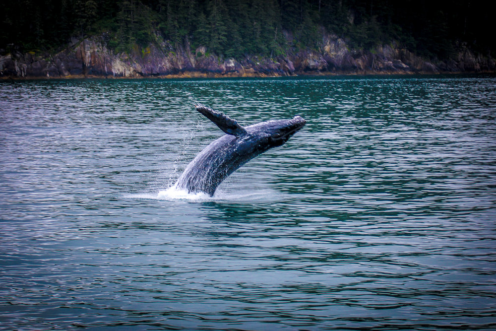 Humpback Breach, Kenai Fjords, AK