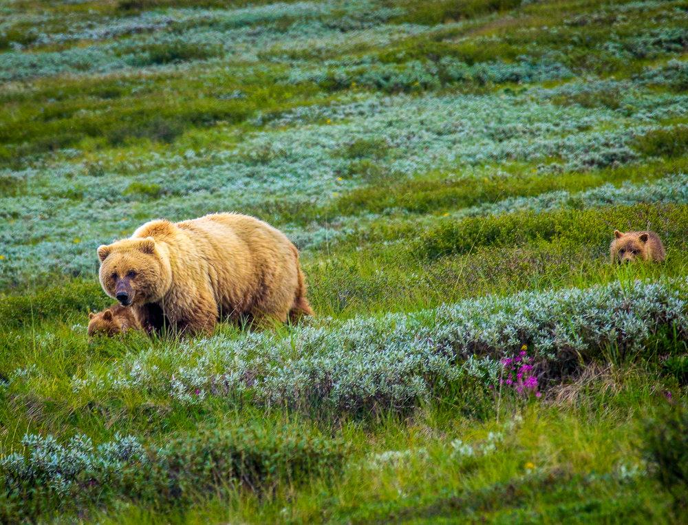 Bears, Denali, AK