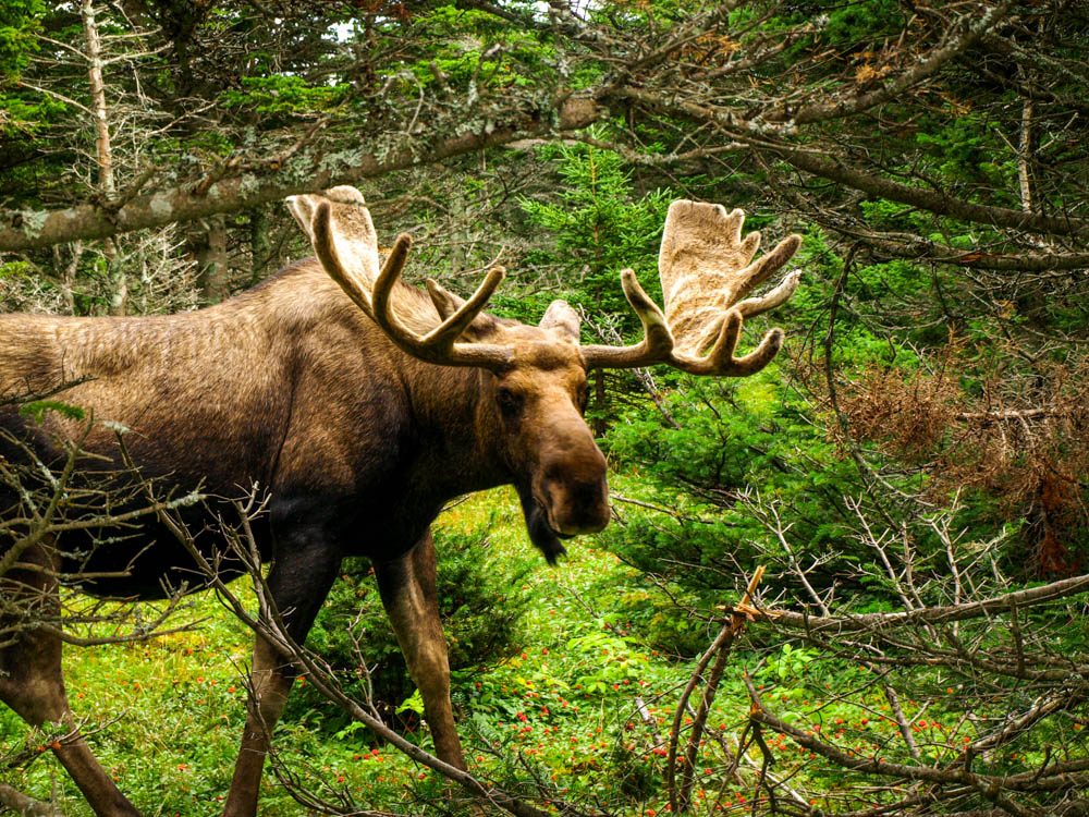 Bull Moose, Nova Scotia