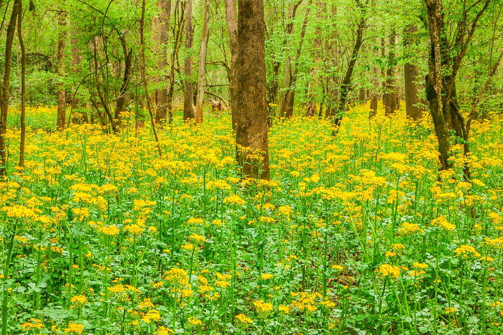 Butterweed in Bloom