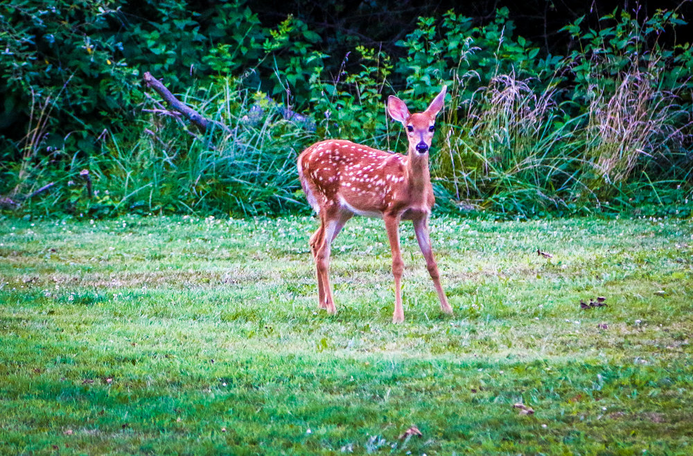 Fawn at The Ridges