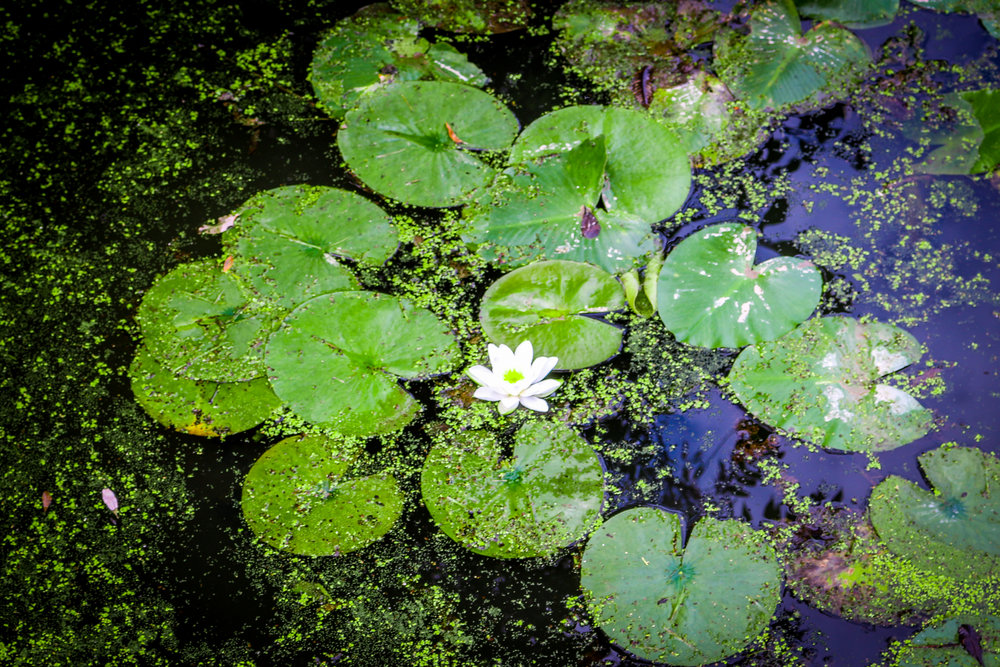 cuyahoga valley national park ohio oh nps lily pad