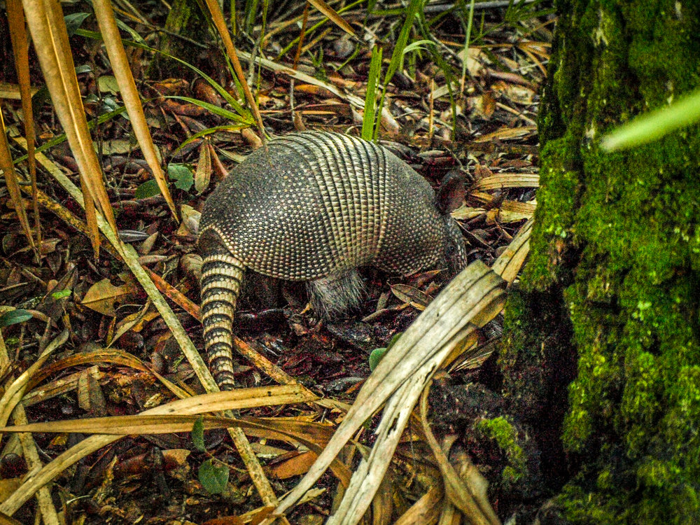 Cumberland Island National Seashore Georgia GA armadillo