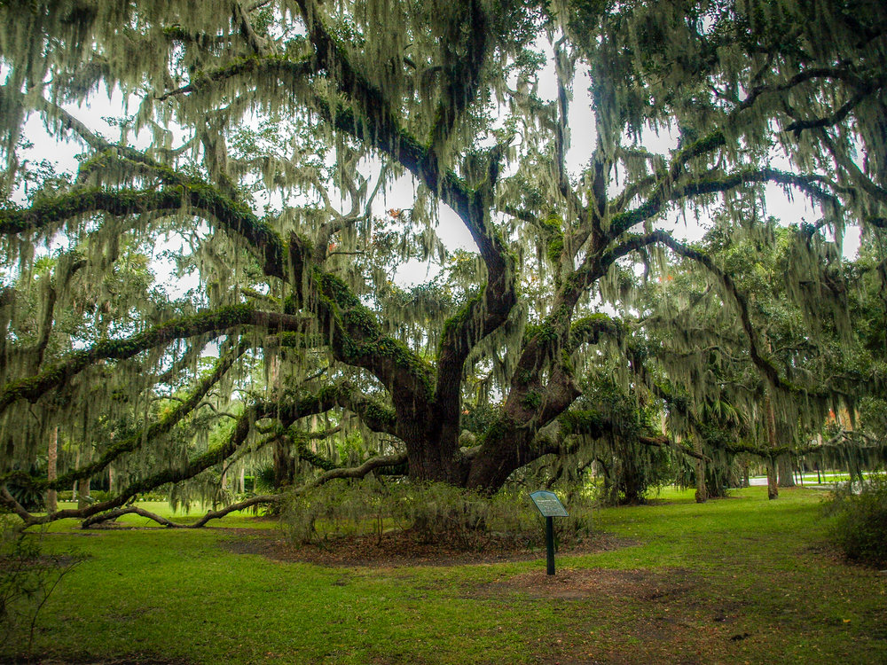 Plantation Oak on Jekyll Island