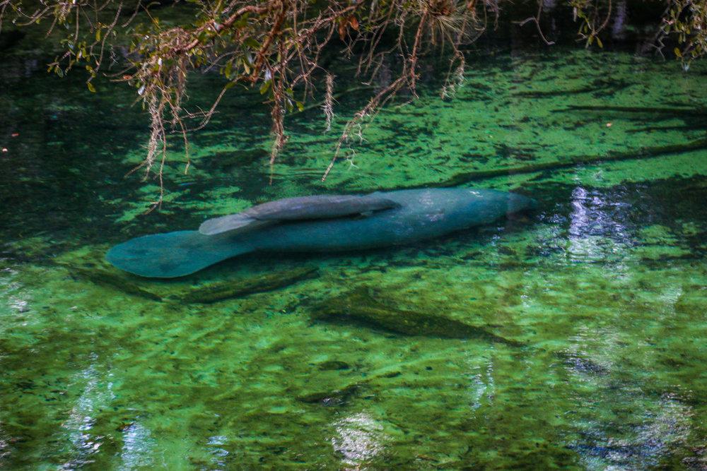 Blue Springs State Park Florida FL Manatee