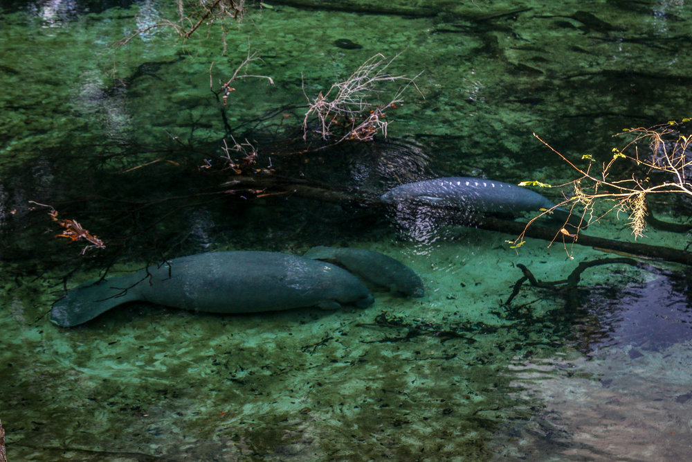 Manatees at Blue Springs