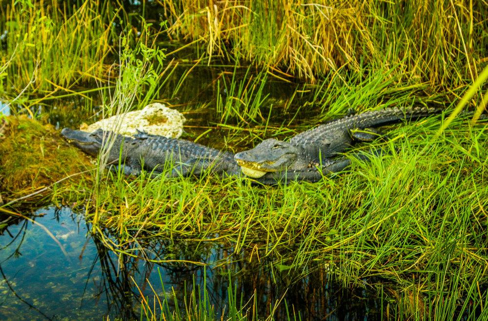 Everglades Gators