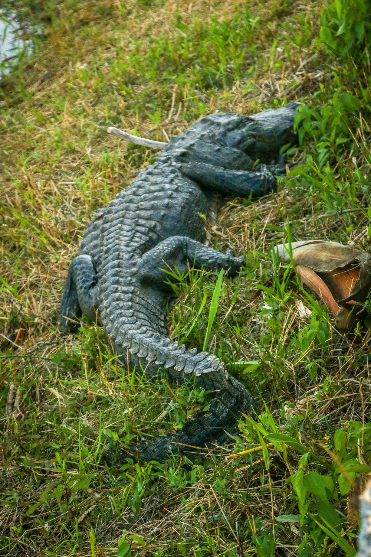 Everglades National Park Florida Gators