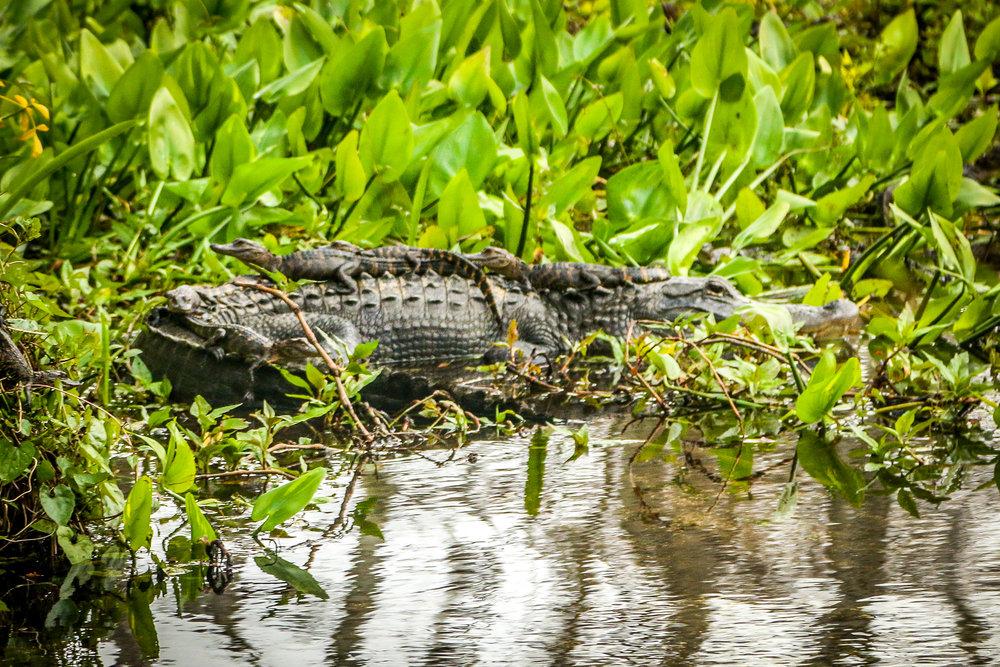 Three Baby Gators on Mama's Back