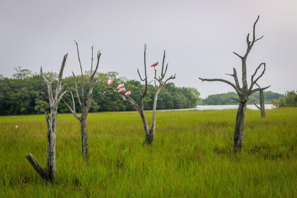 roseate spoonbills  Louisiana Route 1 to Grand Isle Jefferson Parish