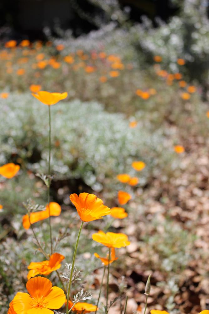 OrangePoppies2.jpg
