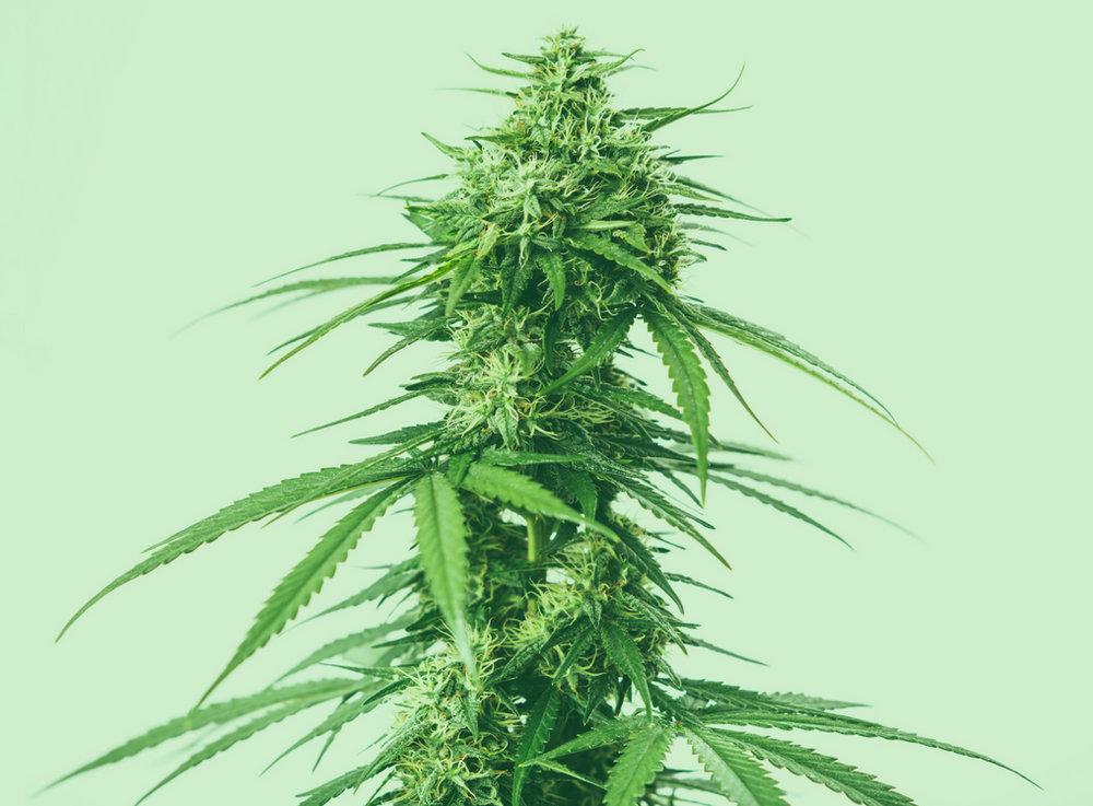 marijuana-plant-anatomy.jpg