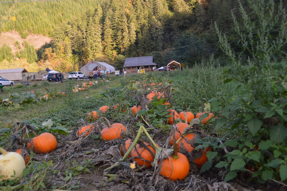 The patch is full of big, bright orange pumpkins that can be hand pick. Just grab a wagon and walk through the patch on a hunt for the perfect pumpkin.