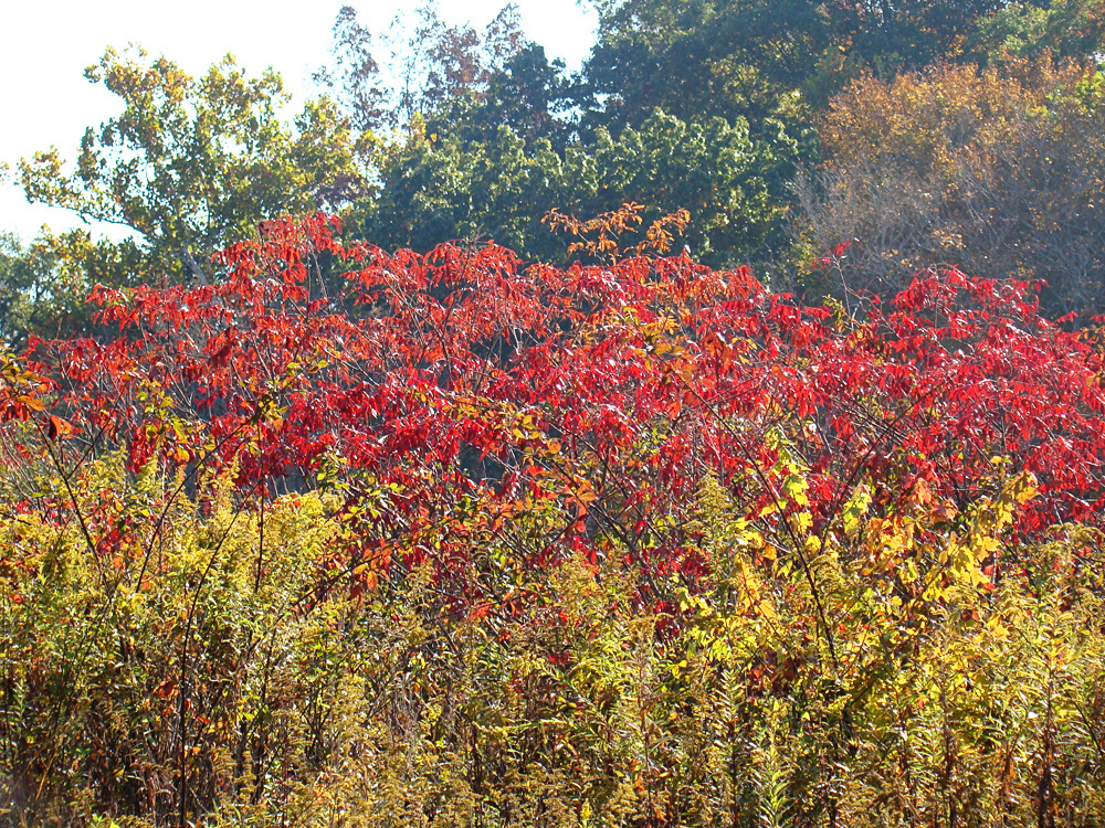 Autumn sumac on our hills