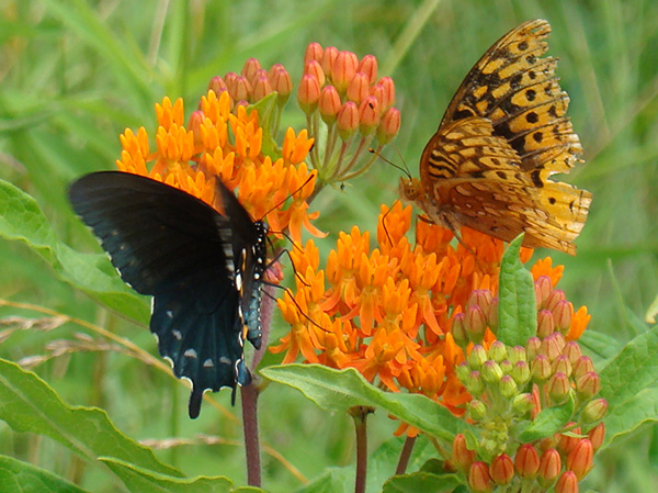 Butterflies on wild asclepias