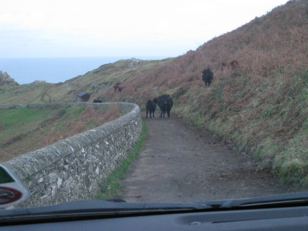 Cows can be road hogs.