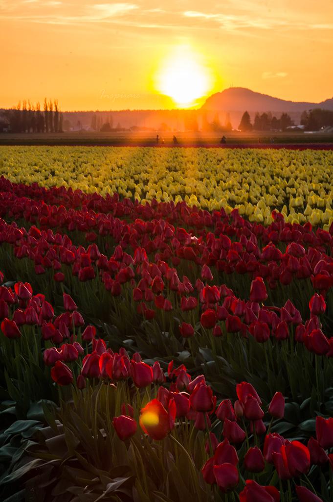 Tulip 036