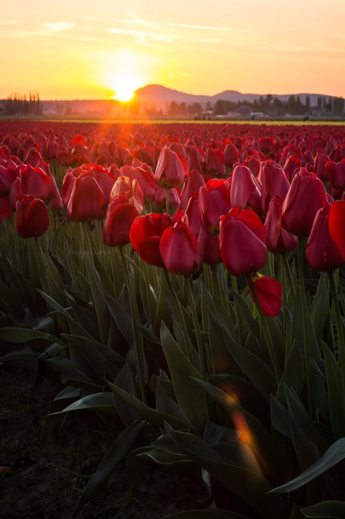 Tulip 037