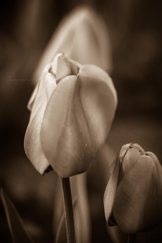 Tulip-0481.jpg
