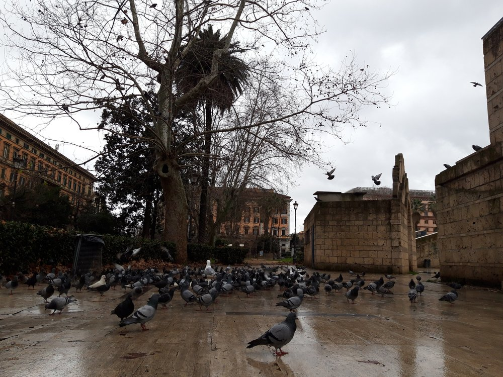 seagull with pigeons in piazza vittorio, 1 february 2019
