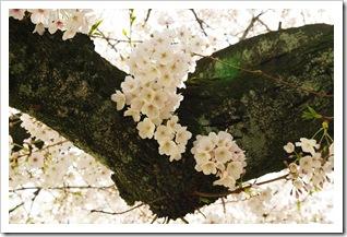 Bridal blossoms 2