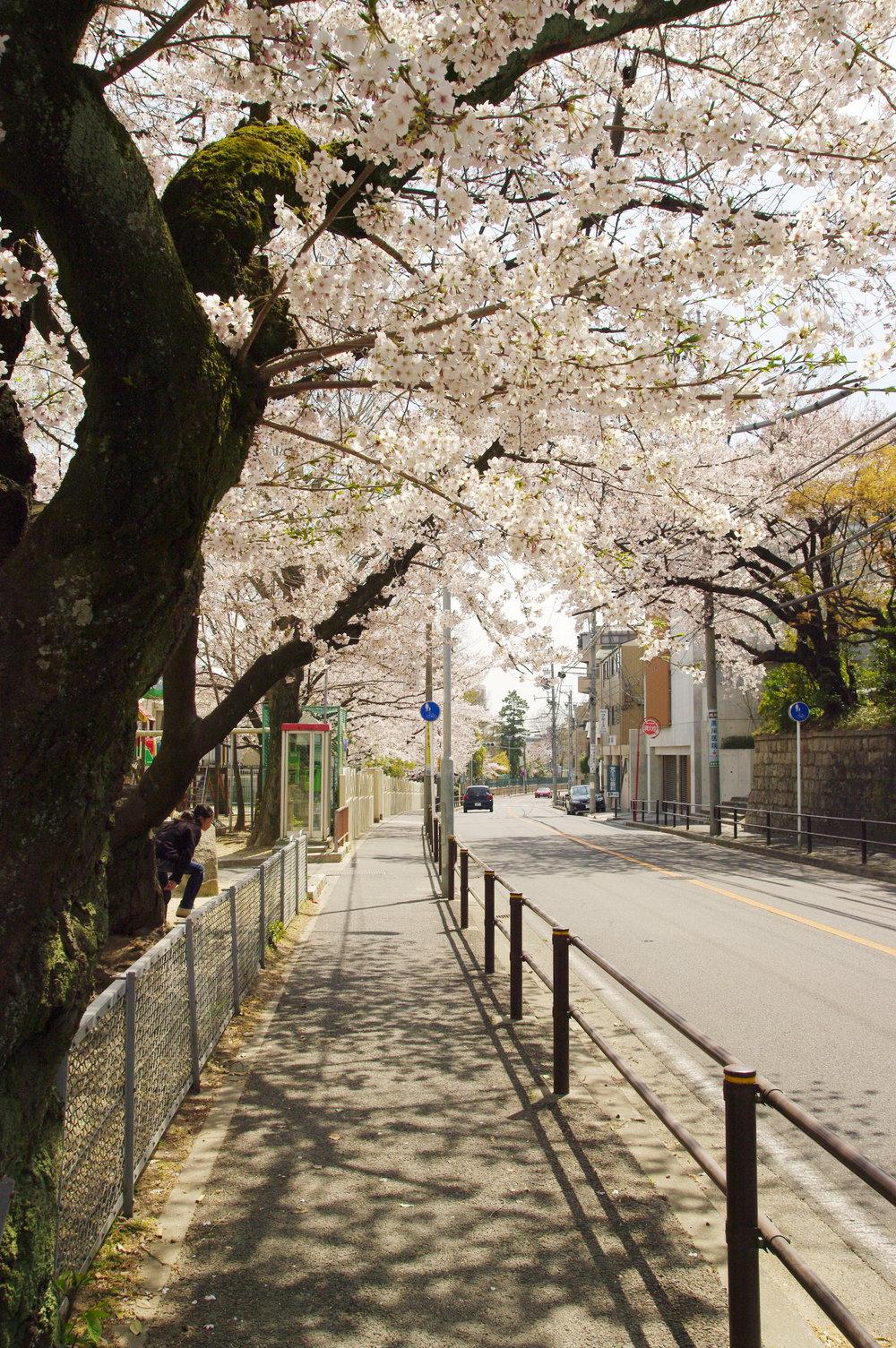 Blossom-Dappled-Street.jpg
