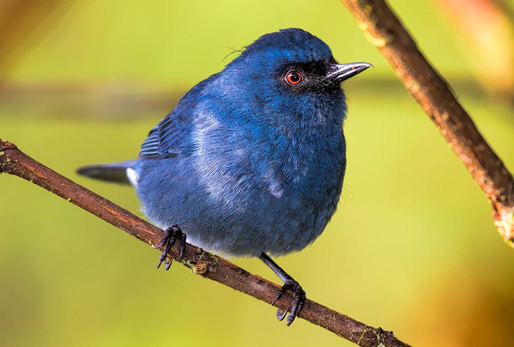 bluish-flowerpiercer-016.jpg