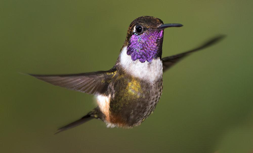purple-throated-woodstar-067.jpg