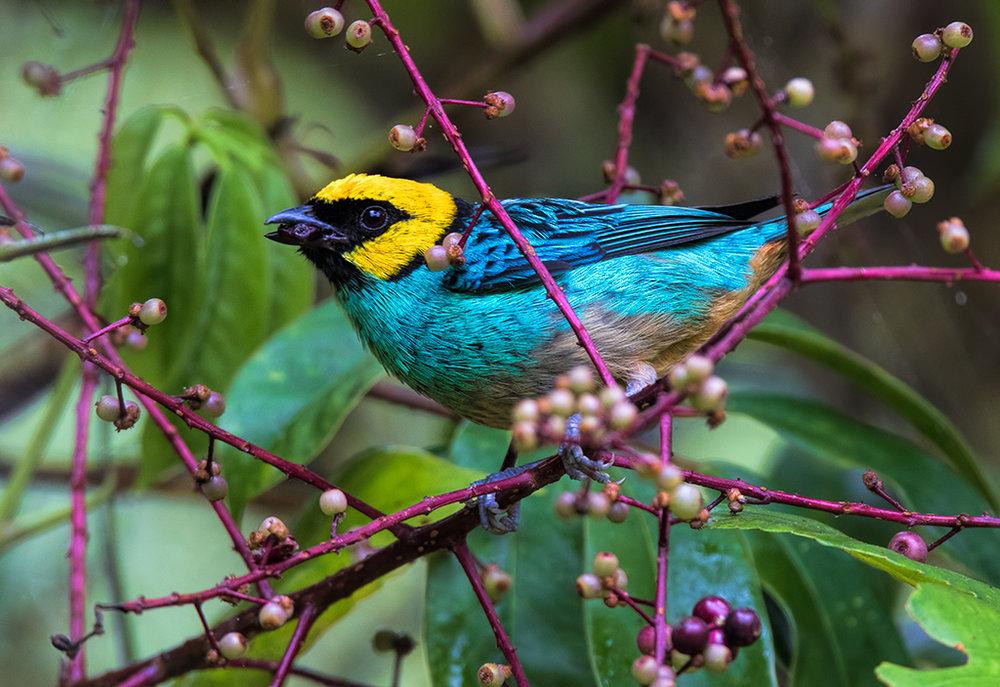 saffron-crowned-tanager.jpg