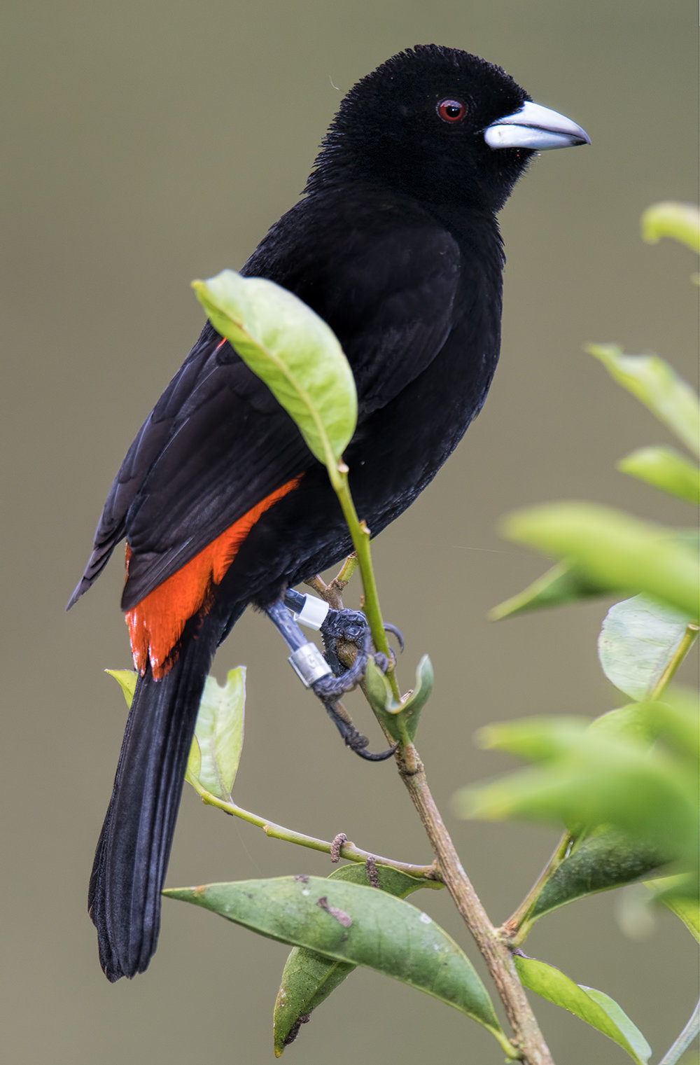flame-rumped-tanager-016.jpg