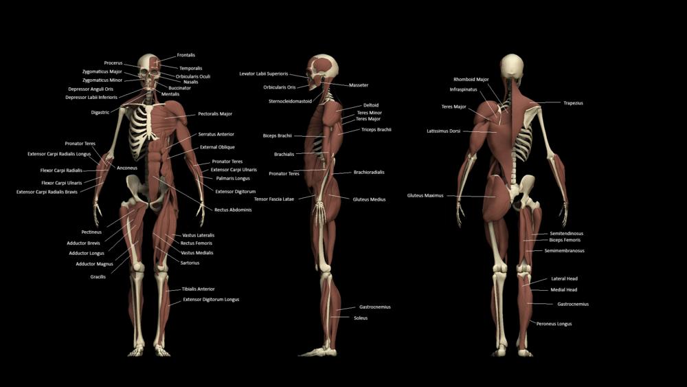 Zbrush Anatomy Study — David Pressler