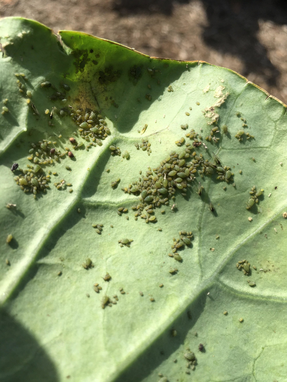 Winged and non-winged aphids on a collard leaf