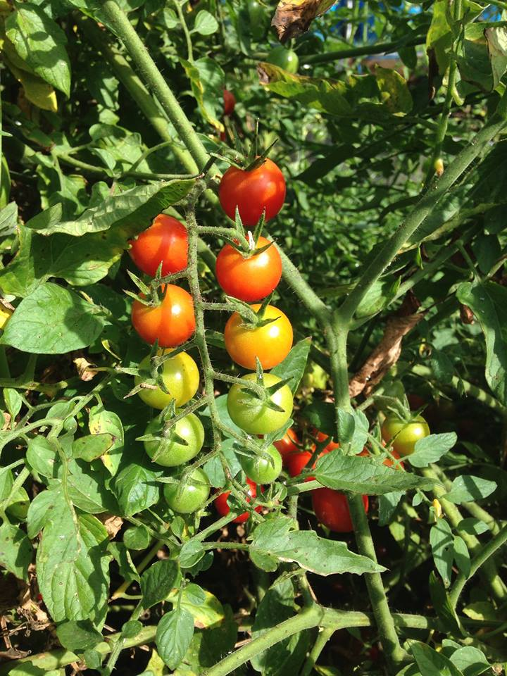 Supersweet 100 tomatoes from Johnny's Selected Seeds