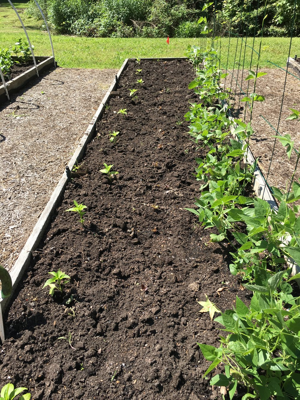 An interplanted bed of peppers, lettuce, and pole beans