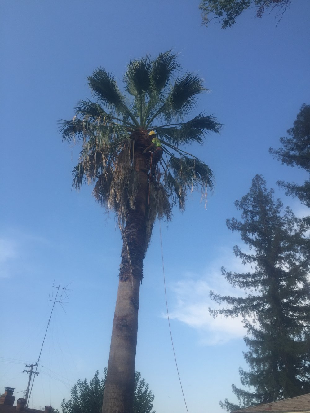 Palm Tree Removal (during)