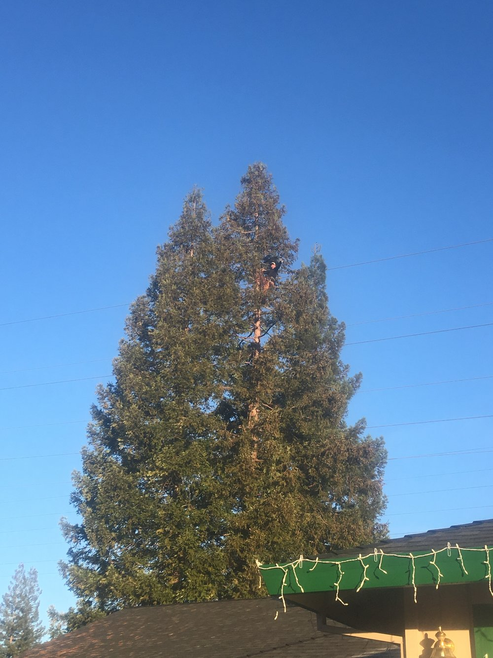 Redwood Thinning (before)