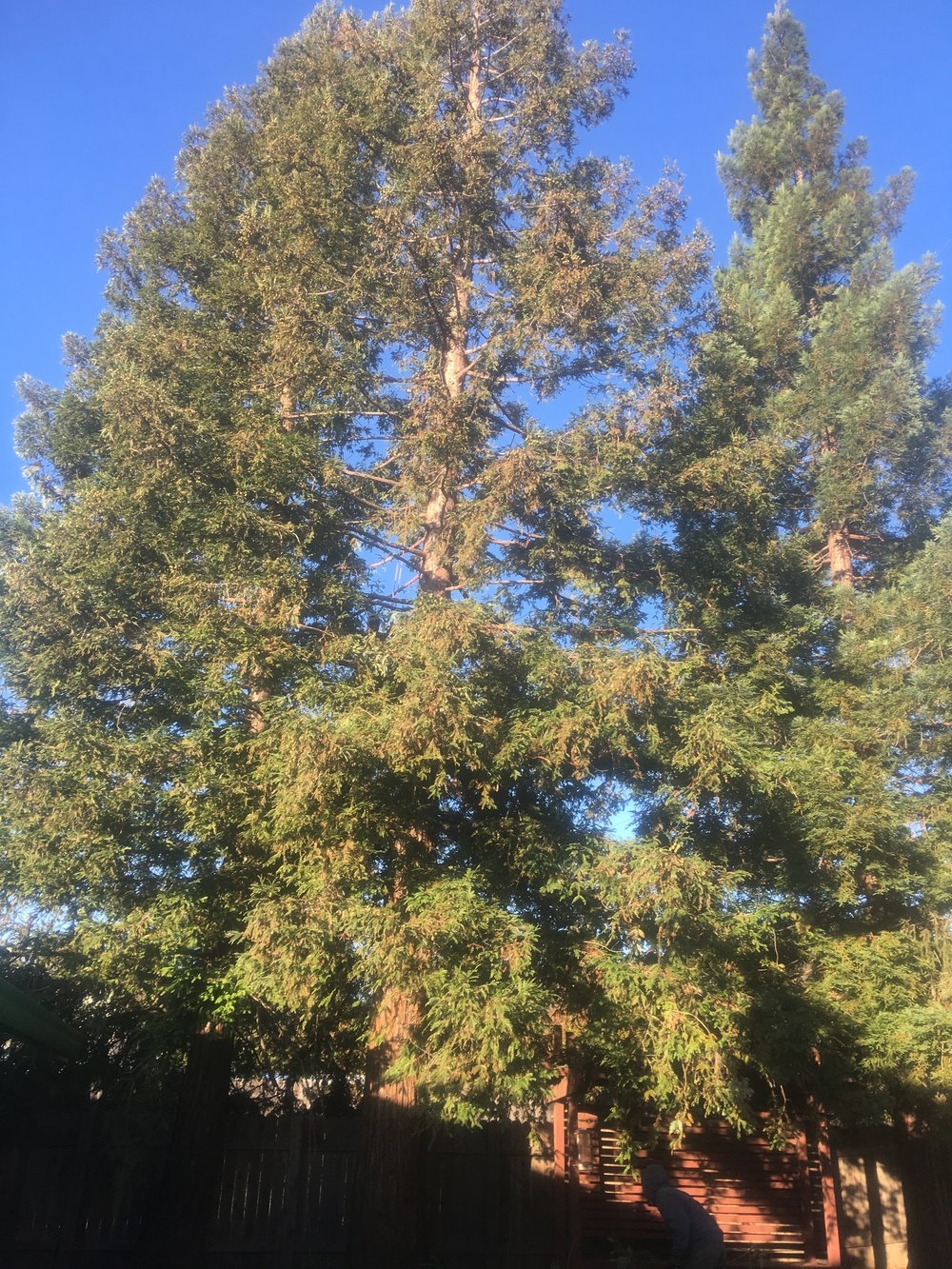 Redwood Thinning (during)