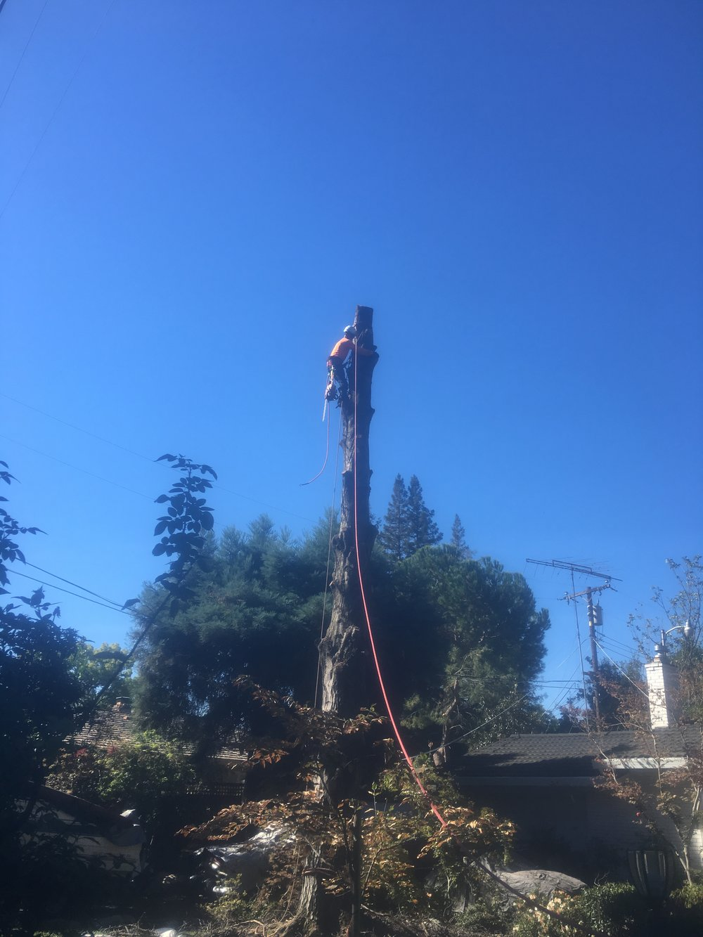 Alder Tree Removal (during)