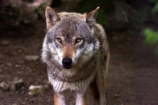 wolf.jpeg