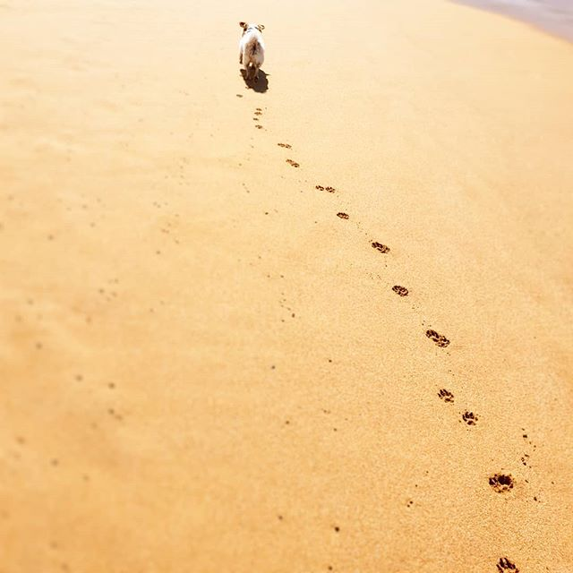 This little guy is definitely a beach dog . . . . . . . . . . . #adoptdontshop  #remi  #remington  #beach #australianbeaches  #feetinthesand