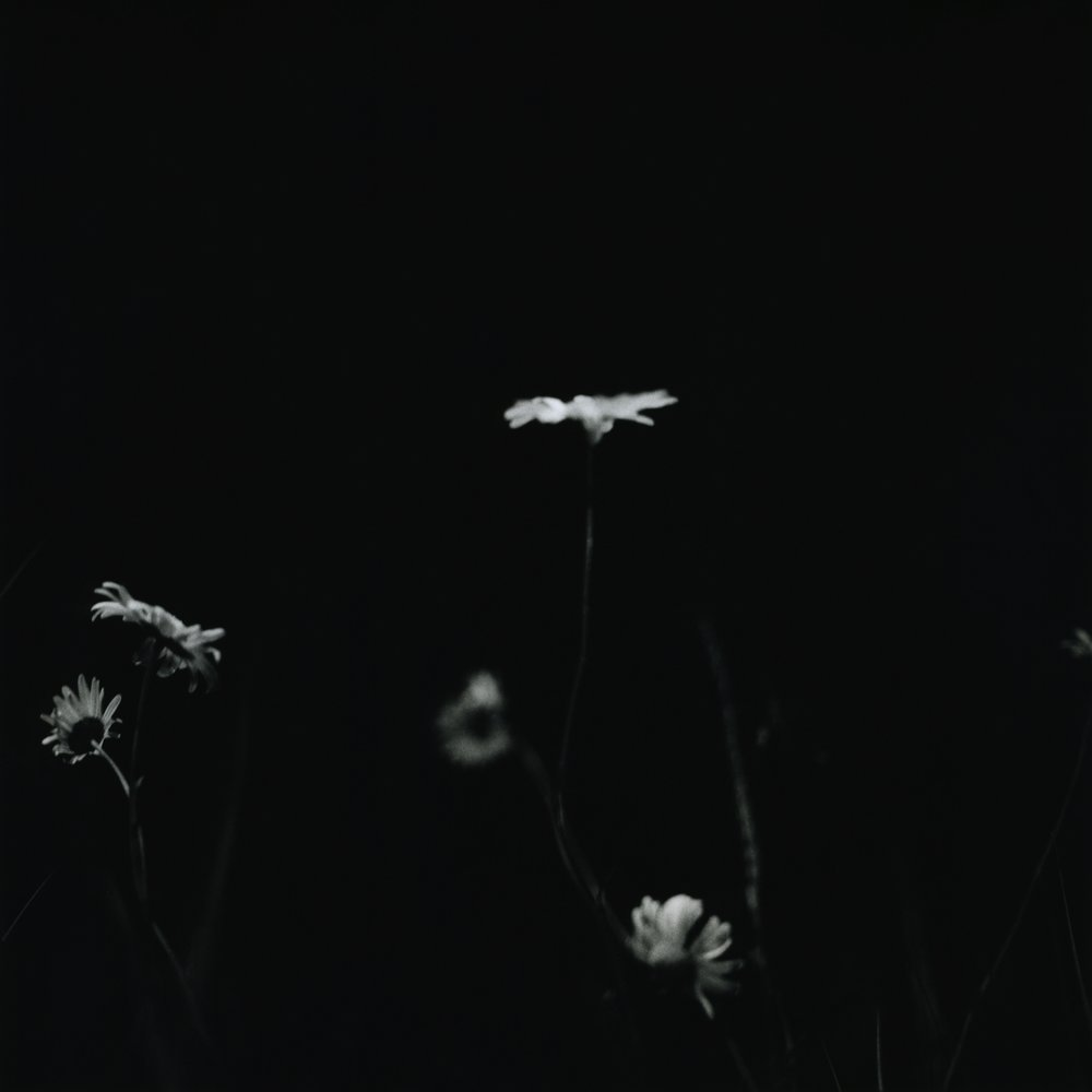 Daisies M6 (1).jpg