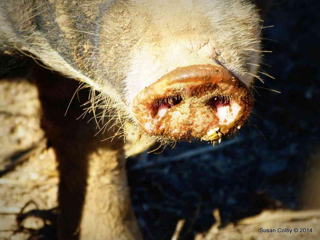 Here, piggy piggy