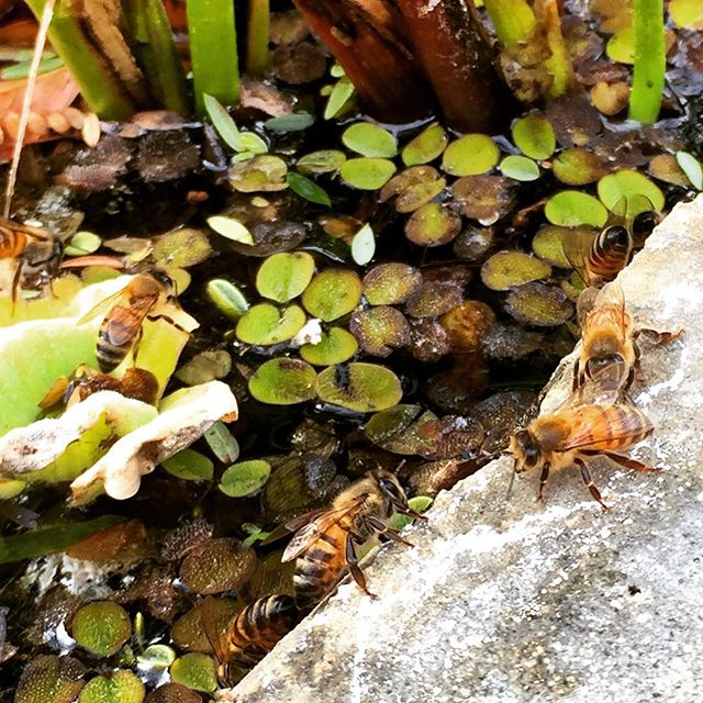 Bees finding water at the koi pond. #bee #koi #water
