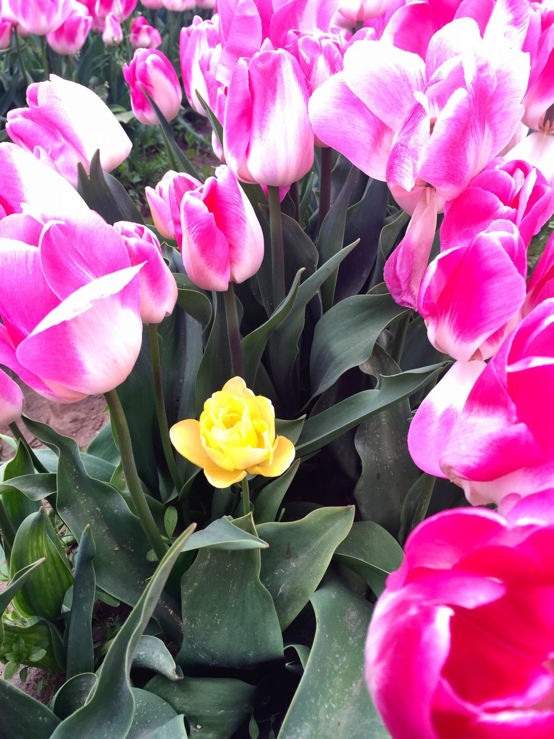 Lonely yellow with the pinks