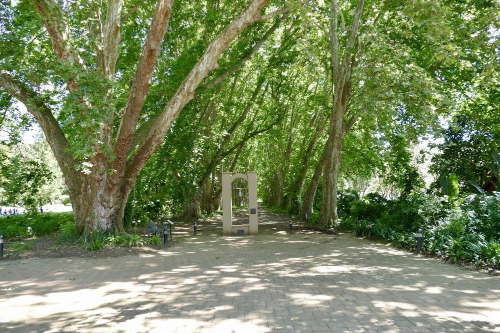 Avenue of giant plane trees at KZN Botanical Gardens