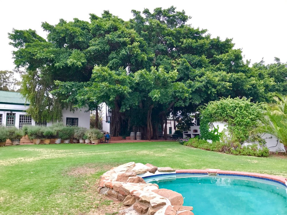 Giant fig tree at Tanagra Wine Farm