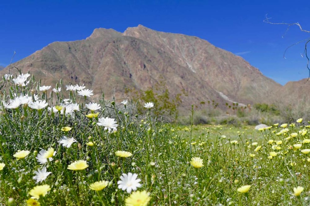 The superbloom out at Anza Borrego Desert State Park.
