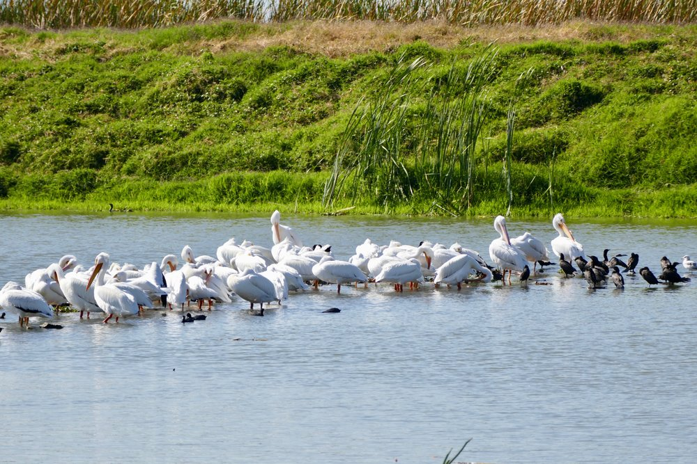 There are hundreds of white pelicans, my favorite bird!