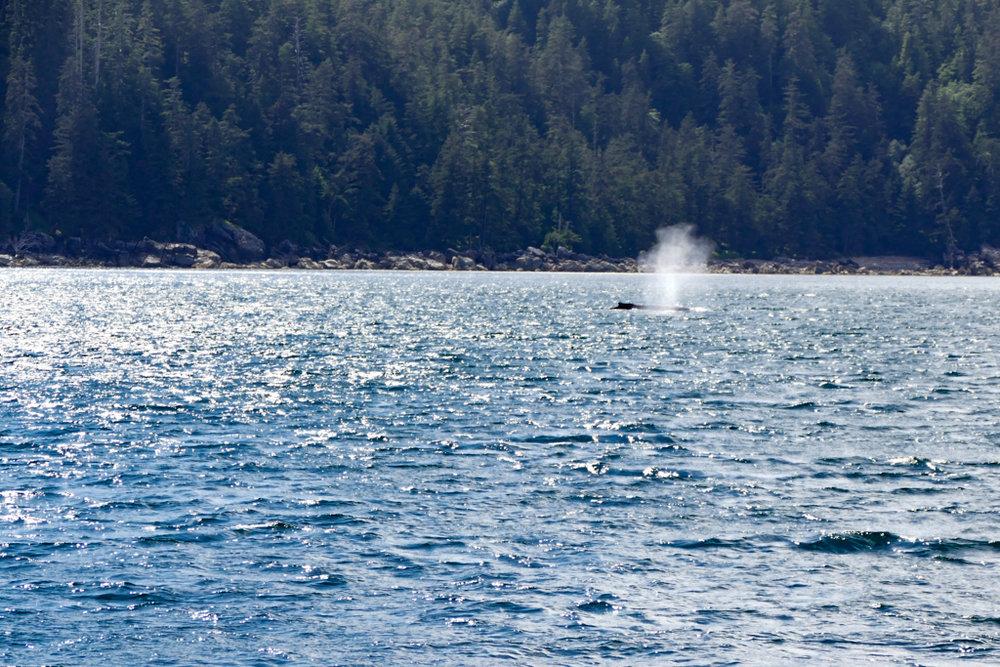 Thar she blows! A humpback whale
