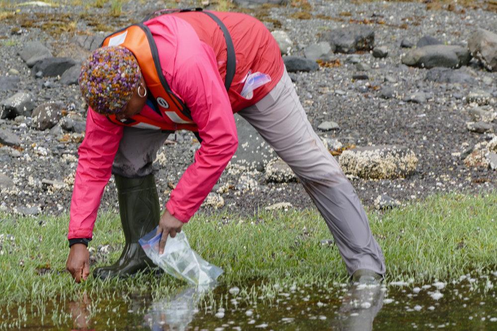 Natasha harvesting sea asparagus